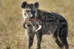 Hyena, Moremi Game Reserve, Botswana by Paul Souders