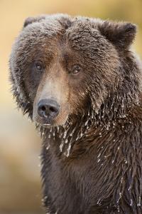 Ice-Covered Brown Bear, Katmai National Park, Alaska by Paul Souders
