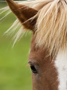 Icelandic horse by Paul Souders