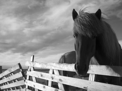 Icelandic Horses in Windswept Pasture Near Gullfoss Waterfall on Summer Morning, Iceland
