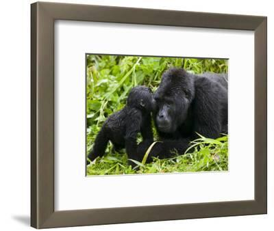 Infant Mountain Gorilla Leans in to Kiss Silverback, Bwindi Impenetrable National Park, Uganda