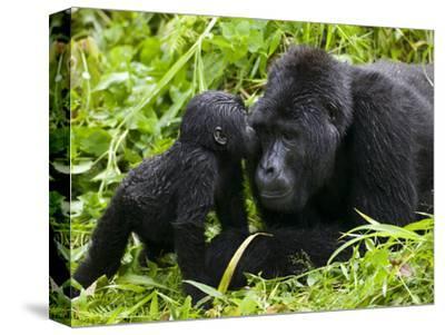 Infant Mountain Gorilla Leans in to Kiss Silverback, Bwindi Impenetrable National Park, Uganda