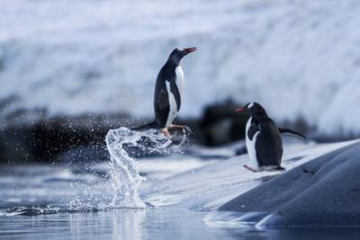 Leaping Gentoo Penguins on Wiencke Island, Antarctica by Paul Souders