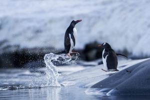 Leaping Gentoo Penguins on Wiencke Island, Antarctica by Paul Souders