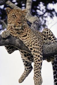 Leopard Lying in Tree by Paul Souders