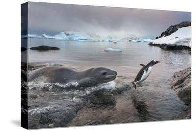 Leopard Seal Hunting Gentoo Penguin, Antarctica