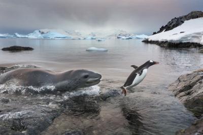 Leopard Seal Hunting Gentoo Penguin, Antarctica by Paul Souders