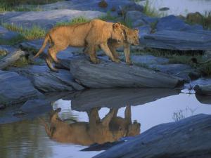 Lion Pride along Rocky Bank, Telek River, Masai Mara Game Reserve, Kenya by Paul Souders