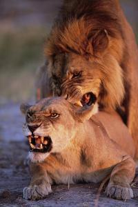 Lions Snarling While Mating by Paul Souders