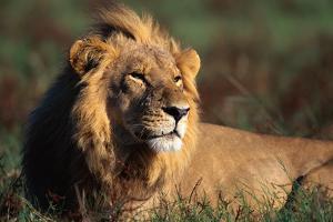 Male Lion Resting by Paul Souders