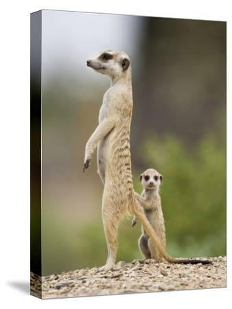Meerkat and Pup, Namibia