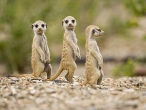 Meerkat Pups, Namibia by Paul Souders
