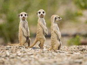 Meerkat Pups, Namibia by Paul Souders