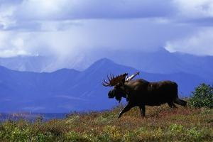 Moose on Tundra Near Mckinley River in Alaska by Paul Souders
