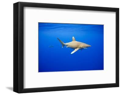 Oceanic Whitetip Sharks in Hawaii