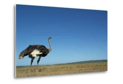 Ostrich in a Pasture