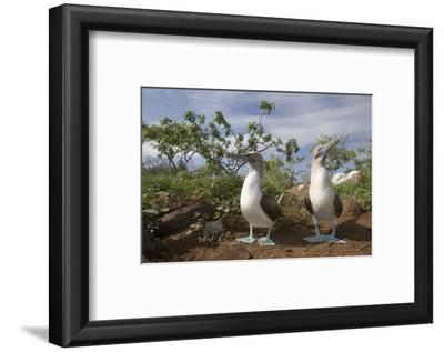 Pair of Blue-Footed Boobies