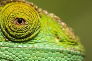 Parsons Chameleon, Madagascar by Paul Souders