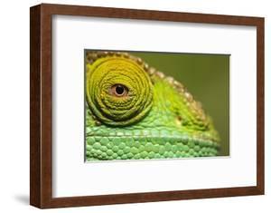 Parsons Chameleon, Madagascar by Paul Souders