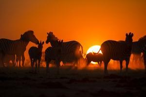 Plains Zebra, Makgadikgadi Pans National Park, Botswana by Paul Souders