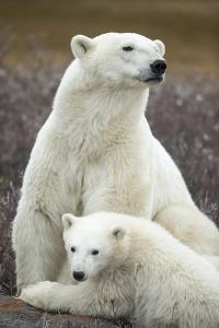 Polar Bear and Cub by Hudson Bay, Manitoba, Canada by Paul Souders