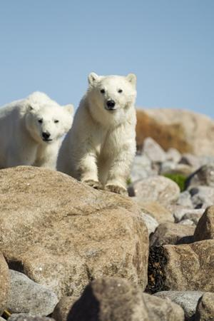 Polar Bear Cubs, Hudson Bay, Manitoba, Canada by Paul Souders