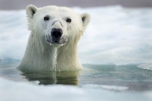 Polar Bear, Hudson Bay, Canada by Paul Souders
