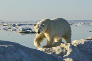 Polar Bear, Hudson Bay, Nunavut, Canada by Paul Souders
