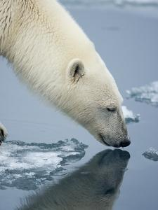 Polar Bear sniffing water by Paul Souders