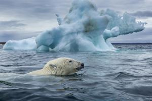 Polar Bear Swimming Past Melting Iceberg Near Harbor Islands,Canada by Paul Souders