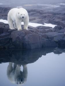 Polar Bear walking on rocky shoreline by Paul Souders