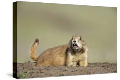 Prairie Dog in Theodore Roosevelt National Park