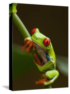 Red-Eyed Tree Frog in Costa Rica by Paul Souders