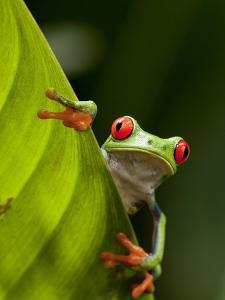 Red-eyed tree frog on leaf by Paul Souders