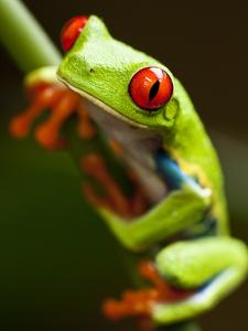 Red-eyed tree frog on stem by Paul Souders