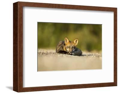 Red Fox, Gillam, Manitoba, Canada