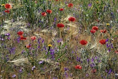 Red Poppies and Wildflowers by Paul Souders