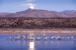 Sandhill Cranes and Full Moon, Bosque Del Apache, New Mexico by Paul Souders