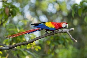 Scarlet Macaw, Costa Rica by Paul Souders