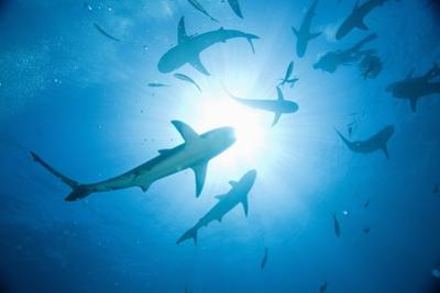 Scuba Diver and Caribbean Reef Sharks at Stuart Cove's Dive Site by Paul Souders