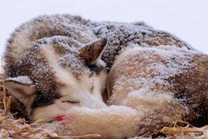 Sled Dog Sleeping after the Iditarod by Paul Souders