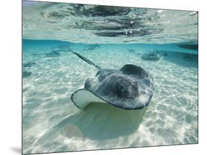 Southern Stingrays Swimming at Stingray City by Paul Souders