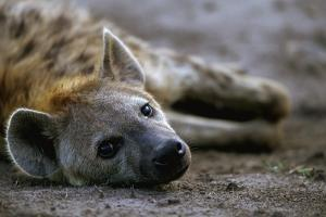 Spotted Hyena by Paul Souders