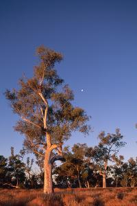 Stand of Gum Trees by Paul Souders