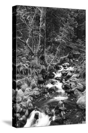 Stream in Rainforest, Olympic National Park, Washington State, USA