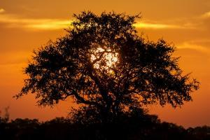 Sunset and Acacia Tree, Kruger National Park, South Africa by Paul Souders