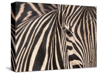 Tight Portrait of Plains Zebra, Khwai River, Moremi Game Reserve, Botswana