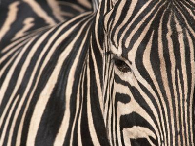Tight Portrait of Plains Zebra, Khwai River, Moremi Game Reserve, Botswana by Paul Souders