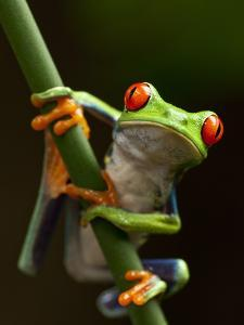 Tree Frog in Costa Rica by Paul Souders