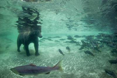 Underwater Brown Bear, Katmai National Park, Alaska
